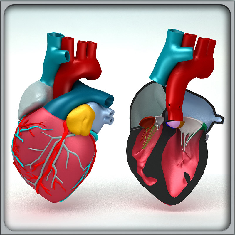 3d obj human heart anatomy
