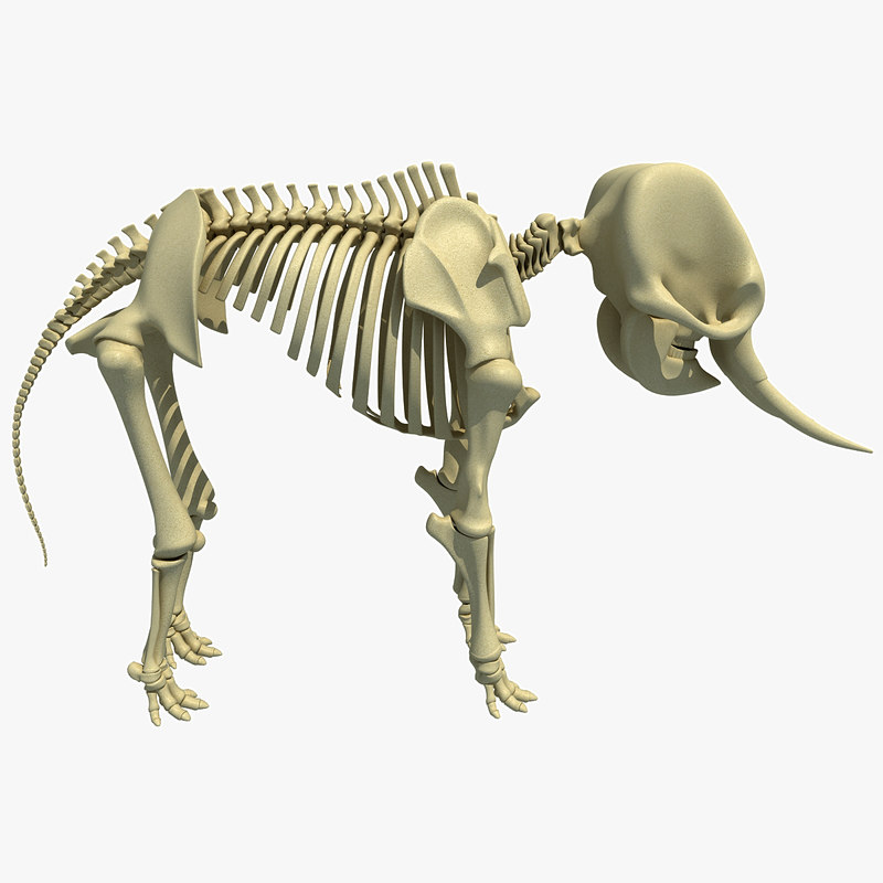3ds asian elephant skeleton