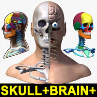 Male Head+Brain+Skull
