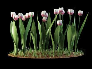 tulip tulipa max