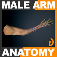 max human male arm anatomy