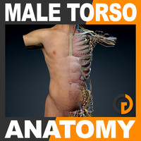 Human Male Torso Anatomy