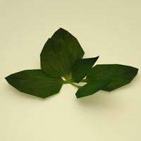 plantain grass plant max free