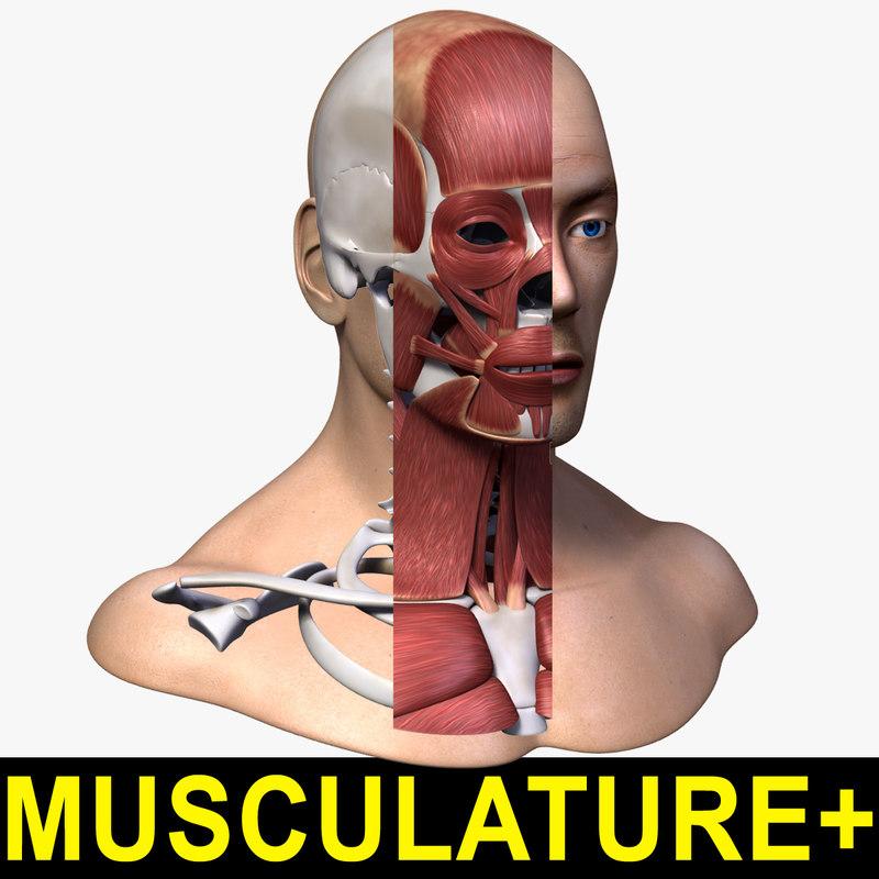 head anatomy skeleton musculature max