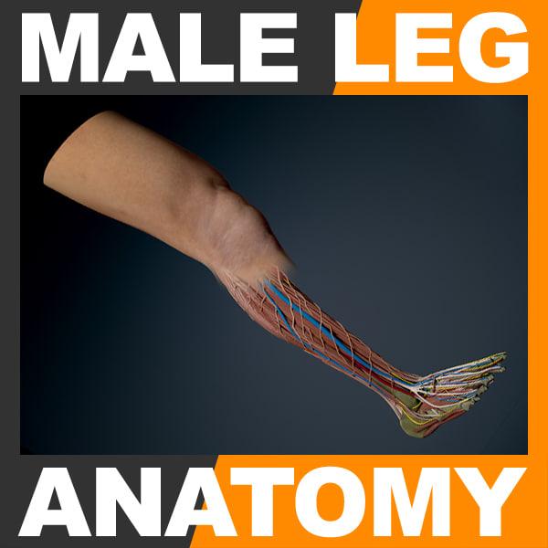 3ds human male leg anatomy