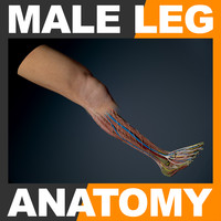 3ds human male leg anatomy