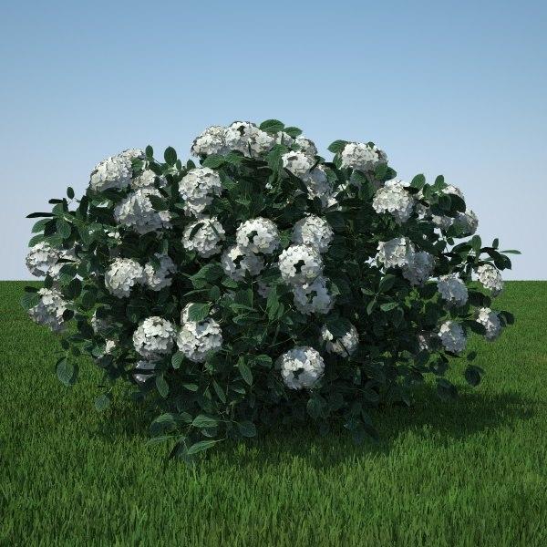 hydrangea arborescens 3d obj