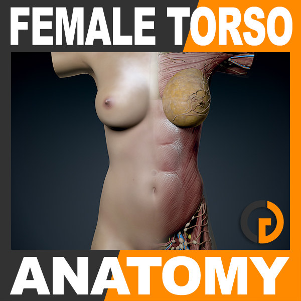 human female torso anatomy muscles 3d model