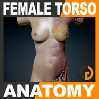 human female torso anatomy muscles 3d model