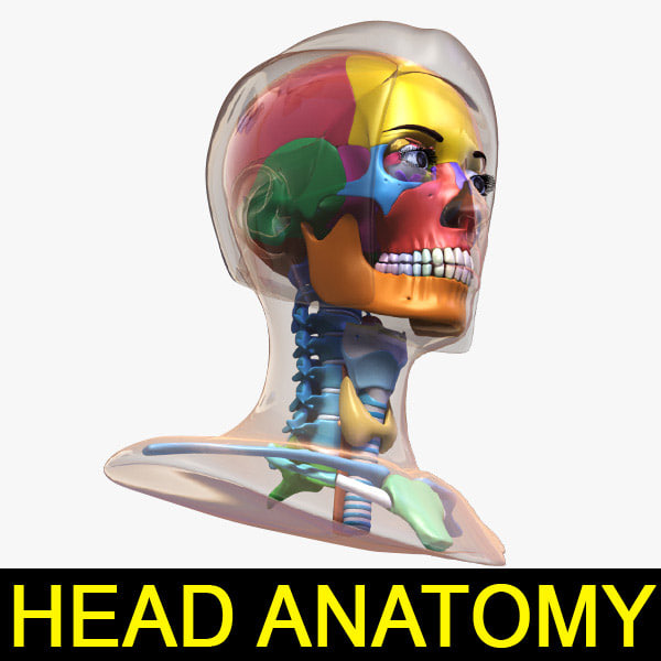 3d female head anatomy eye