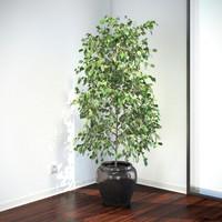 plant ficus benjamina max