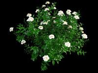 3d model gardenia garden flower
