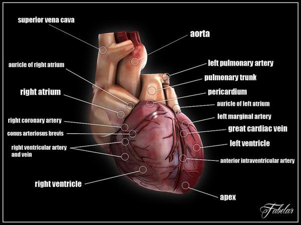 max human heart