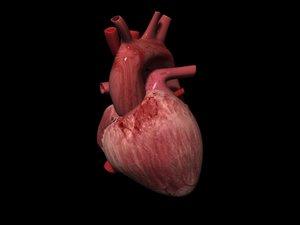 3d model of atrium ventricle pulmonary