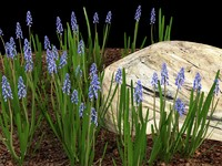 3d model muscari grape hyacinth