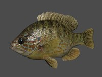 pumpkinseed sunfish fish 3d max