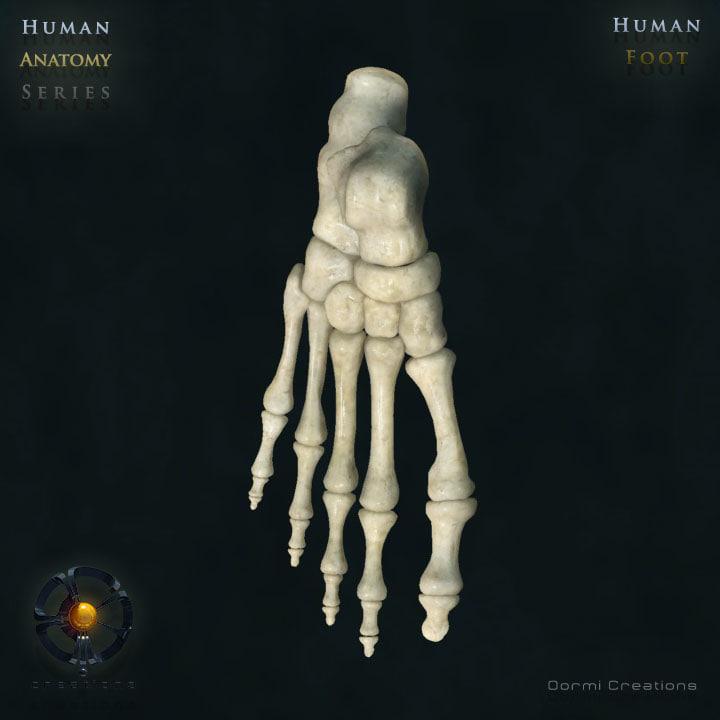 3d human foot bones model