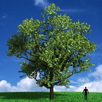 Acer Negundo Tree