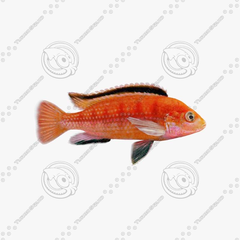 aquarium fish cihlida labidochromis 3d model