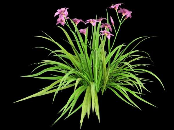 3d daylily