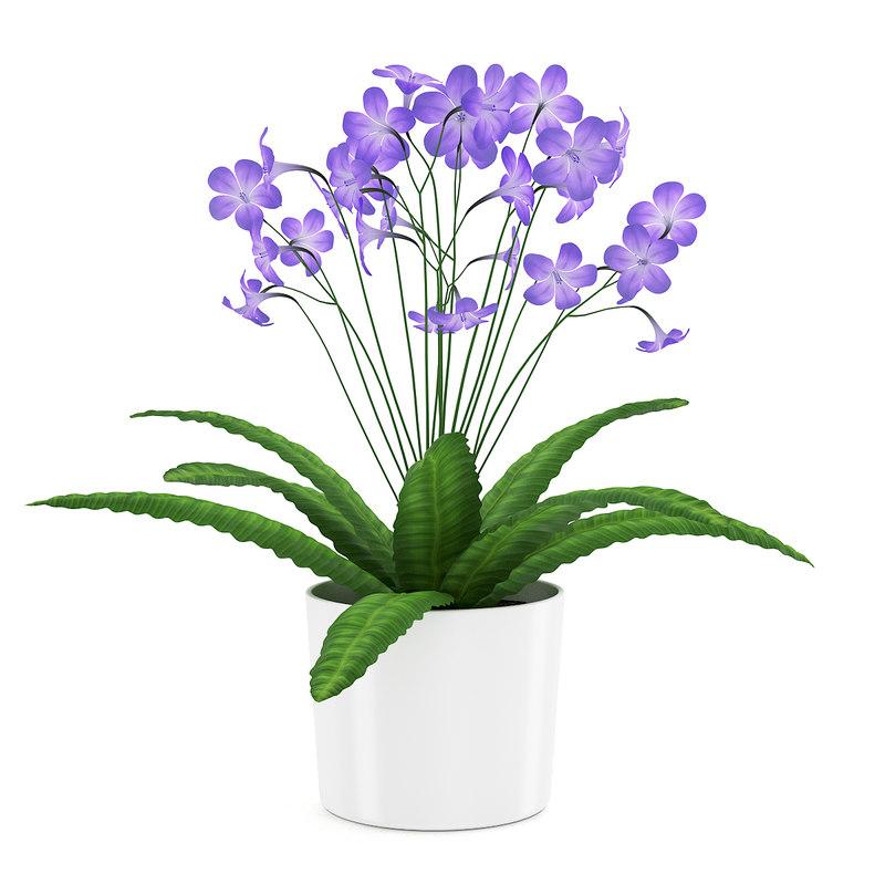 of streptocarpus white pot