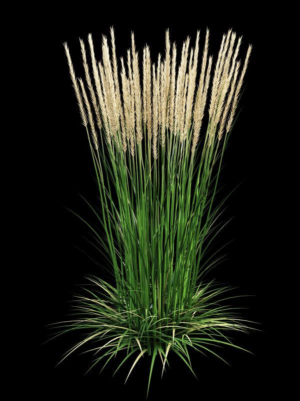 calamagrostis_acutiflora_1.jpg