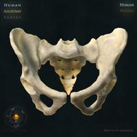 3d human pelvic bones