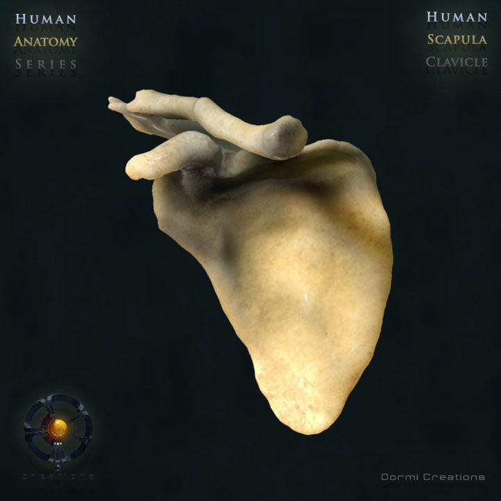 human scapula clavicle bones 3d model