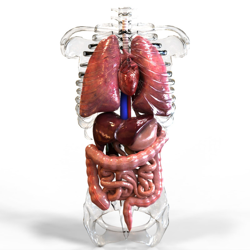3ds human internal organs intestines