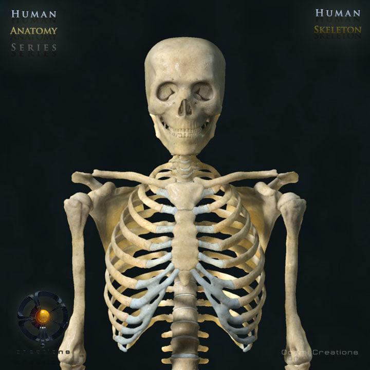 3d human skeleton bone rigged