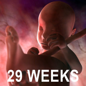 3d 29 weeks fetus model