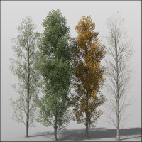 3d model poplar tree adult