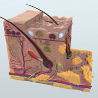 Realistic Human Skin Anatomy