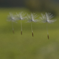 3d close-up dandelion seeds model