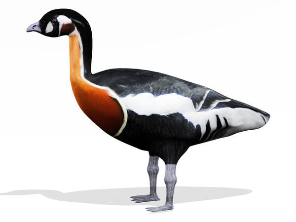 3d model red breasted goose