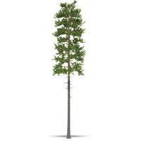 pine model