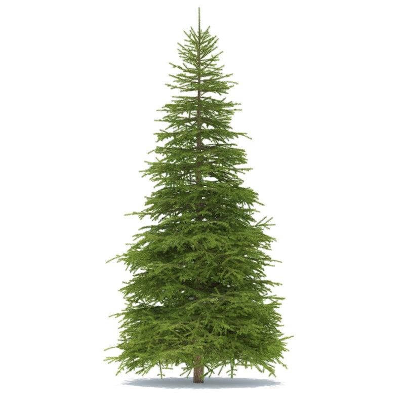 3d spruce