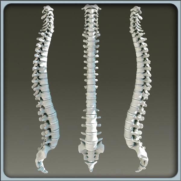3d model vertebral column skeleton