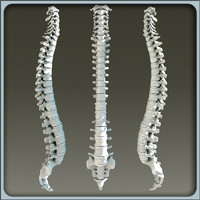 3d model vertebral column skeleton