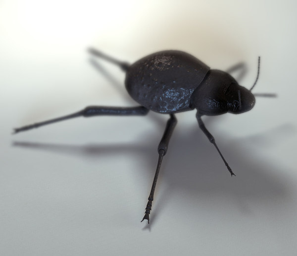 maya beetle stenocara