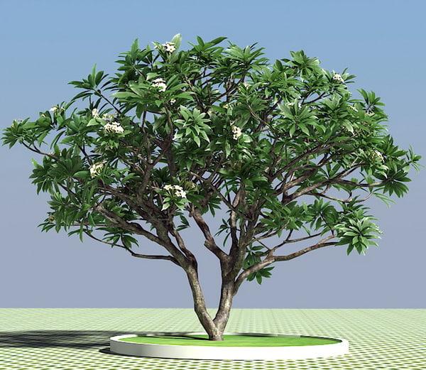 3d frangipani tree model