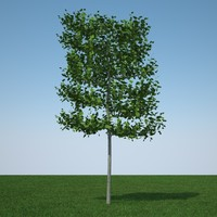 3d common lime tree model