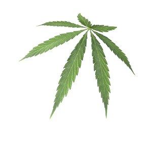 marijuana leaf max