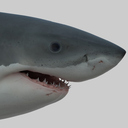 3d obj great white shark