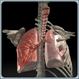 lung torso 3d model