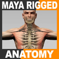 Maya Rigged Human Male Body, Muscular System and Skeleton