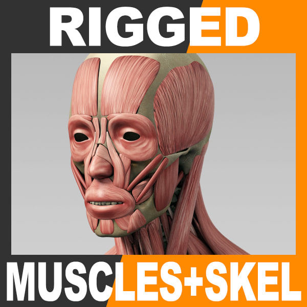 3d rigged human muscular skeleton model