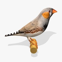 zebra finch birds ab 3d model