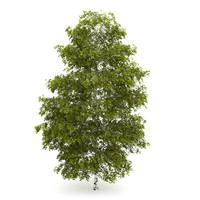 tree birch m