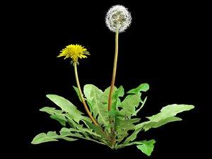 3d taraxacum dandelion